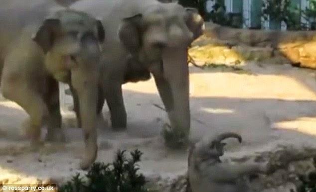 الأم تسرع لتنقذ الفيل الصغير