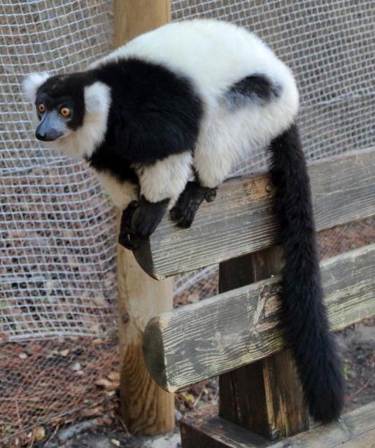 Lemur en el Selwo Aventura de Estepona