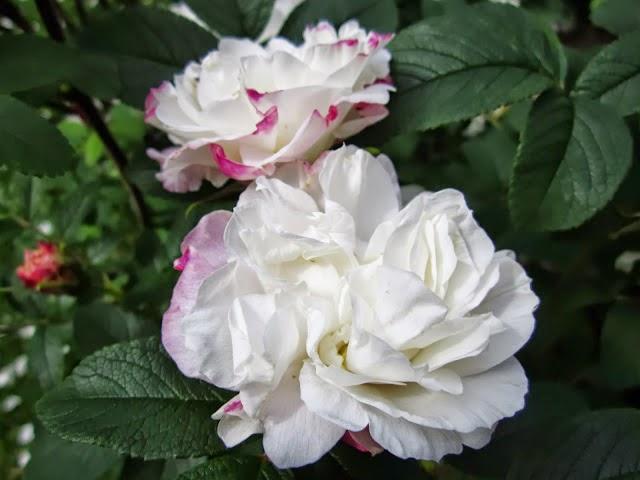 Doftande rosor, vita rosor, väldoftande trädgård