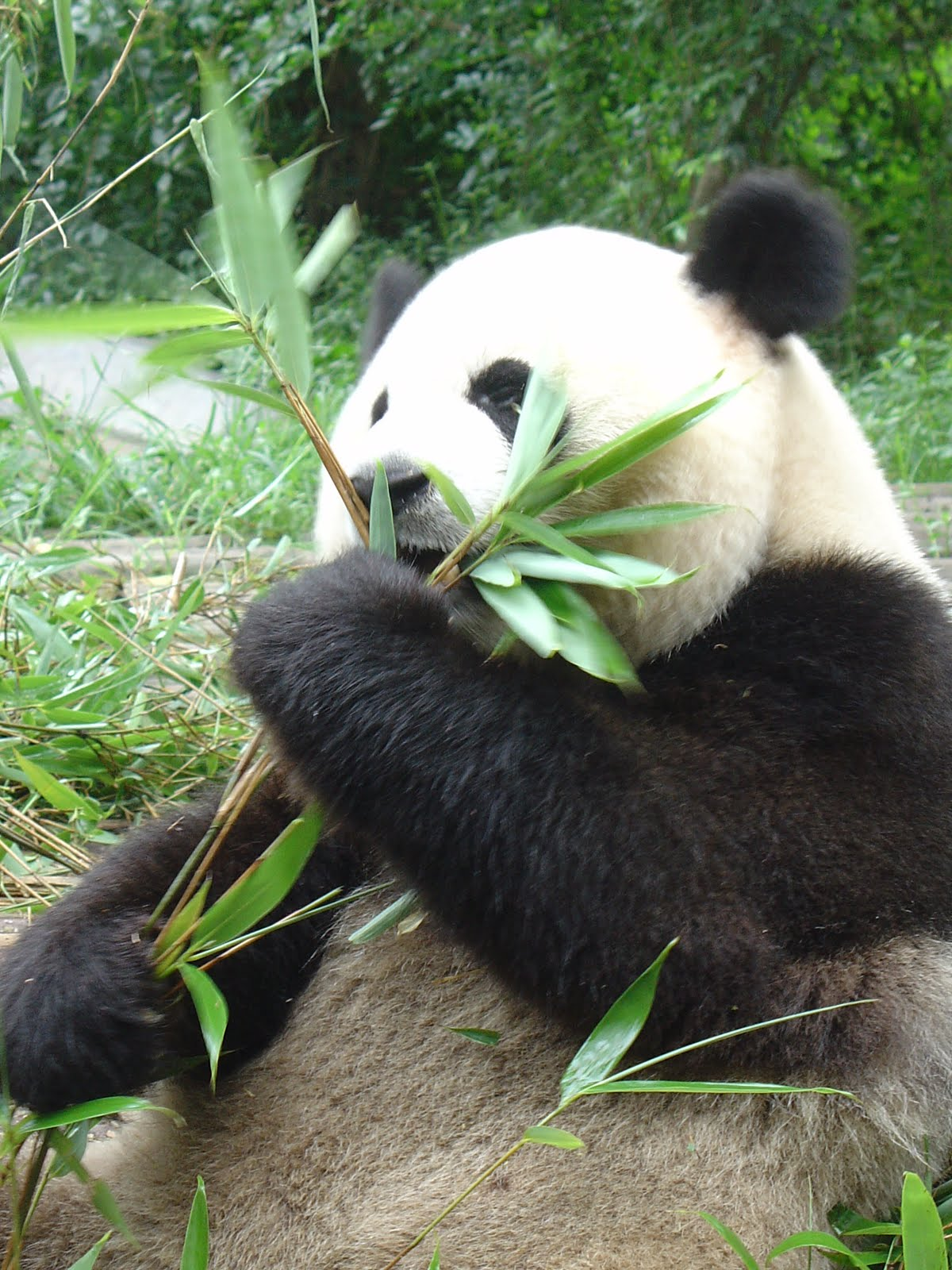 Endangered species panda essay