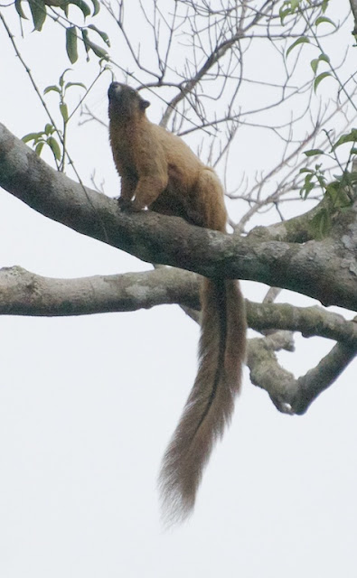 Cream-coloured Giant Squirrel (Ratufa affinis)