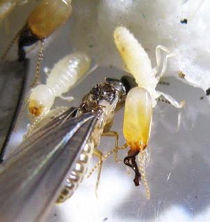 Dicuspiditermes nemorosus termite imago