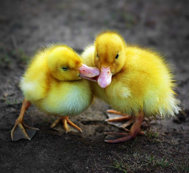 Animal Kissing Pictures