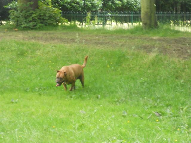 Sheba running