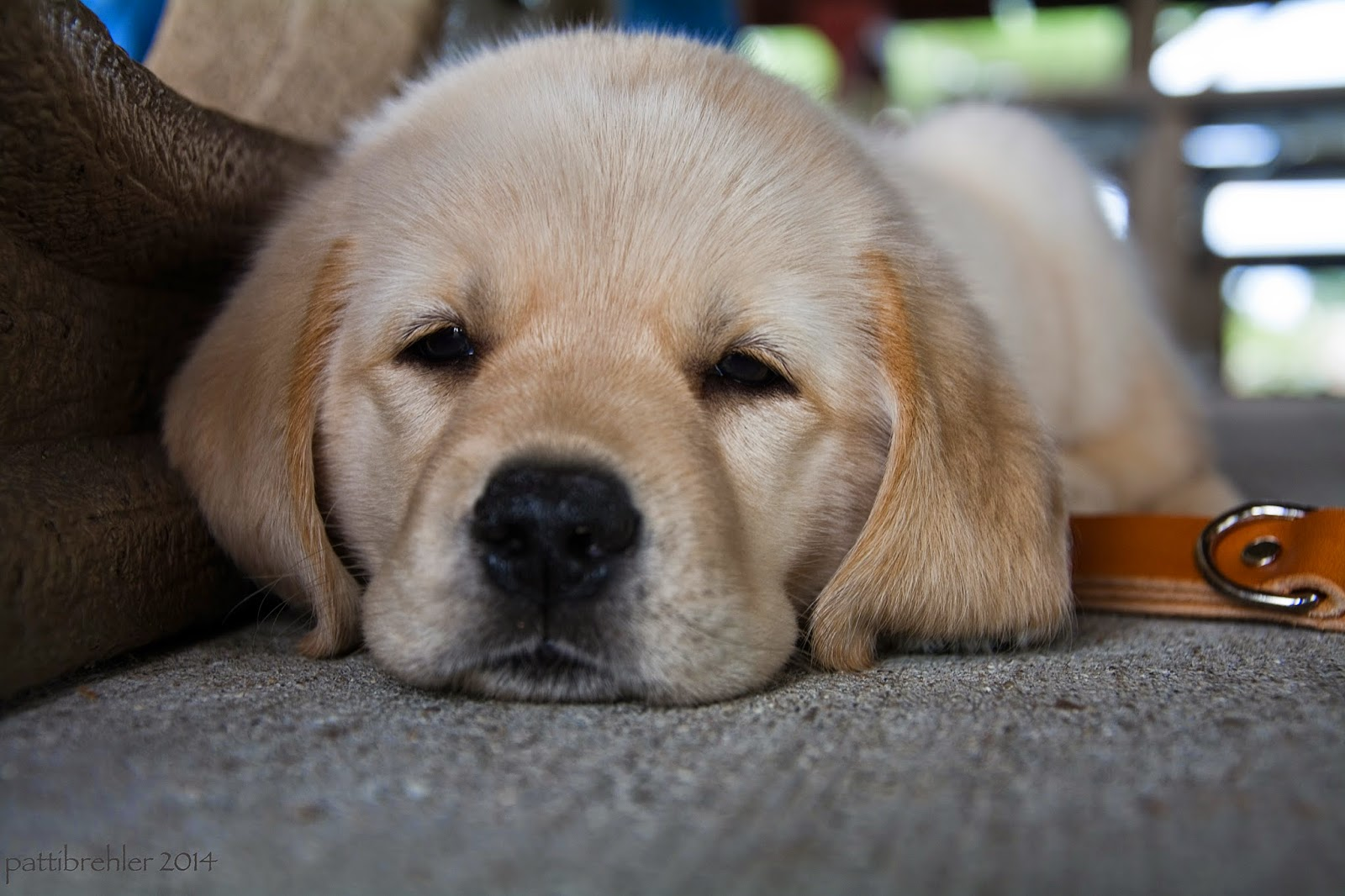A close floor-level shot of a small yellow lab/golden mix puppy lying on the cement. The puppy's chin is resting on the cement and his eyes are sleepy. His ears are touching the cement.
