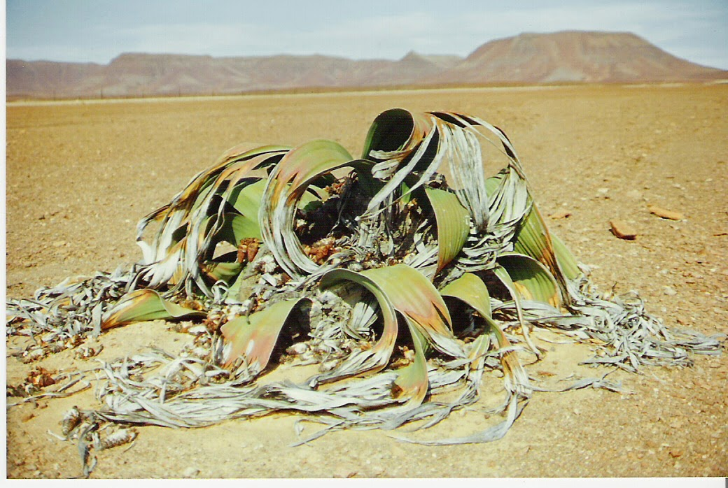 Welwitchia plant in desert