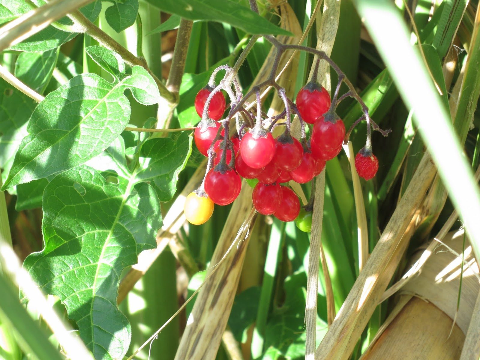 Woody Nightshade berries - red and yellow - with their leaves in pampas grass