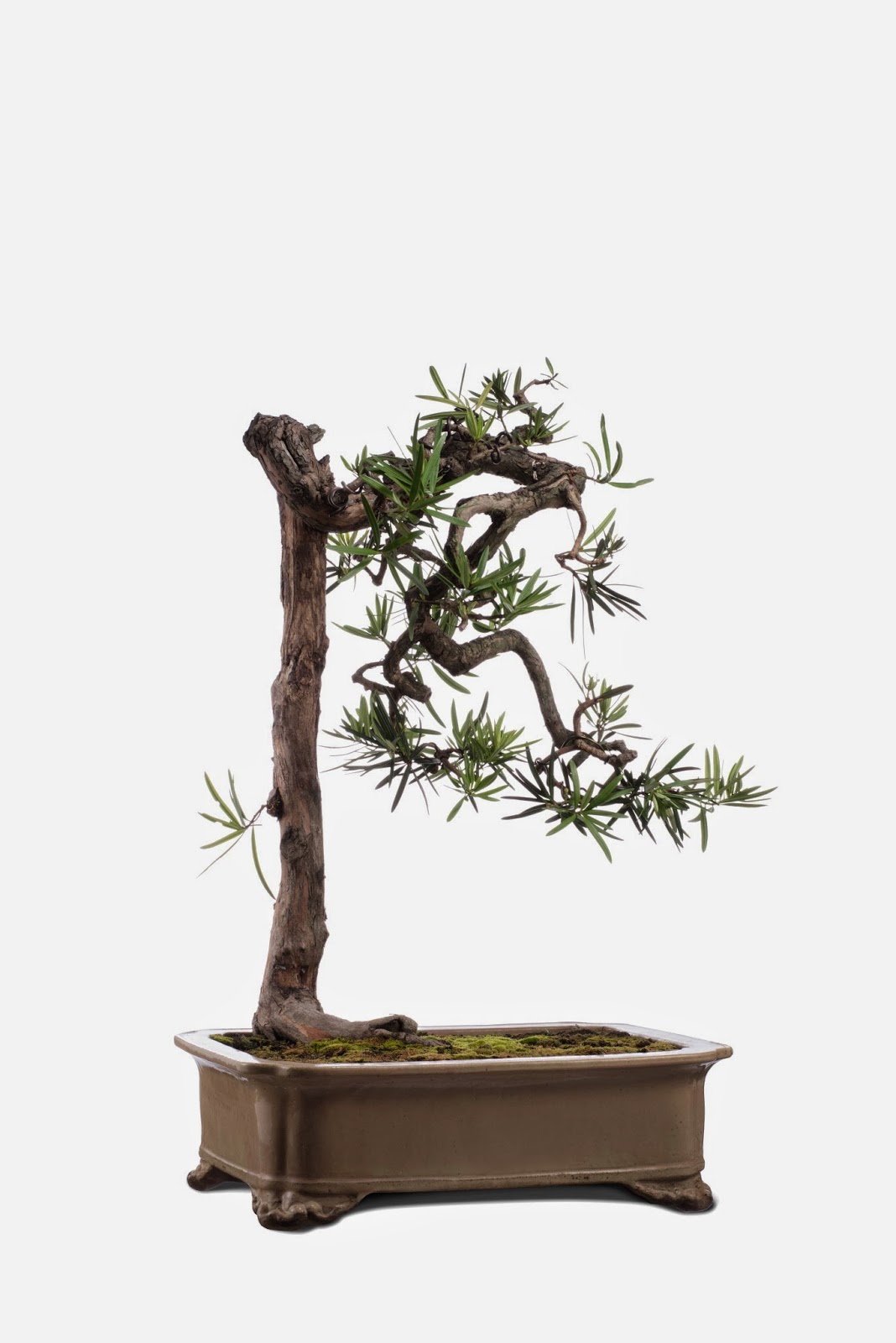 Kee Hua Chee Live EXQUISITE AND HISTORIC BONSAI PLANTS FOR