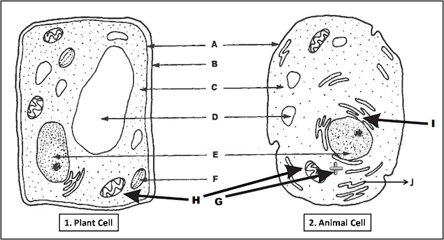 Labeled diagram Plant Cell and Animal Cell