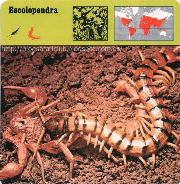 Blog Safari Club, la Escolopendra, es famosa por el peligro de sus mordeduras