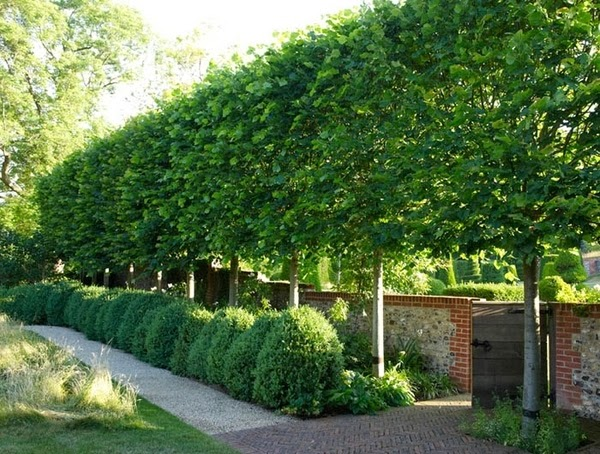 Ivy Clad Privacy by Pleaching