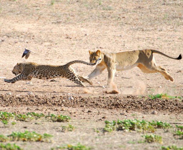 What Are Cheetahs Predators - twoj doktor