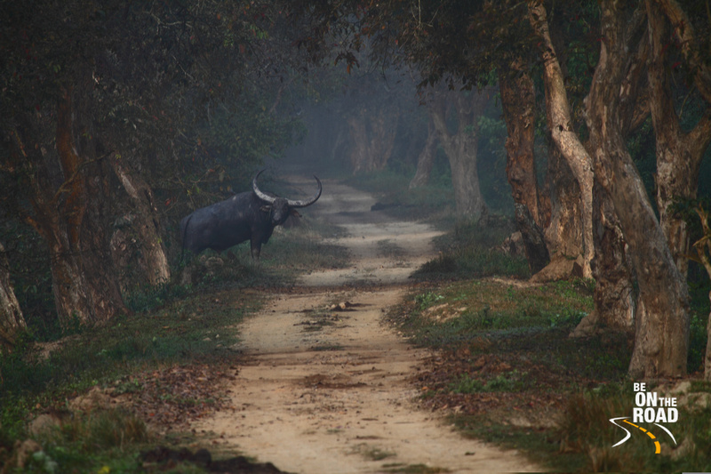 Wild Water Buffalo from Kaziranga National Park, Assam, India