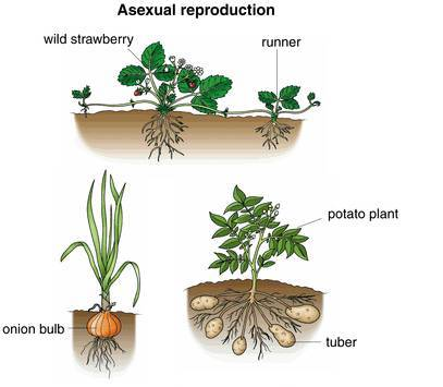 Asexual reproduction in onion