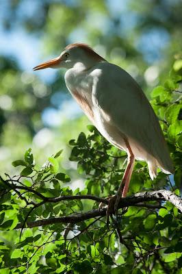 Cattle Egret, UT Southwestern Medical Center