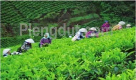 Aktivitas perkebunan teh di daerah pegunungan.