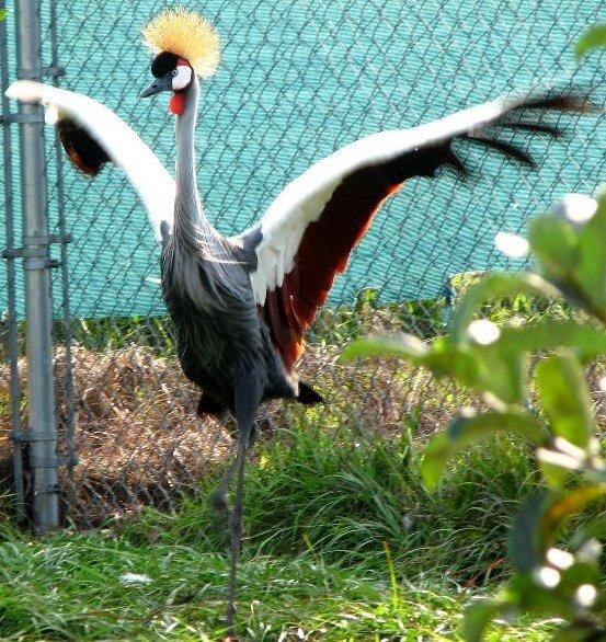 طائر الكركي الأفريقي المتـوج