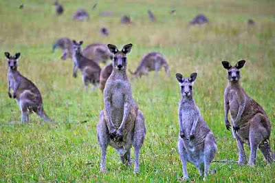kangaroos in plague proportions