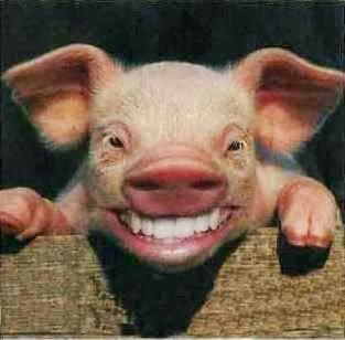 porco sorrindo