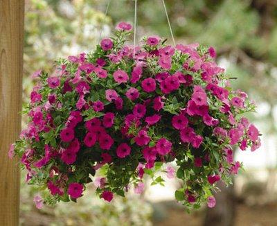 Decore plantas para jardim de inverno for Petunie inverno