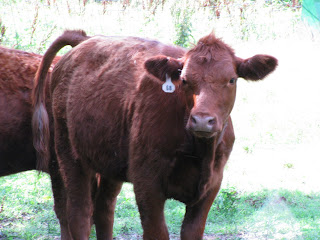 Red Simmental cow