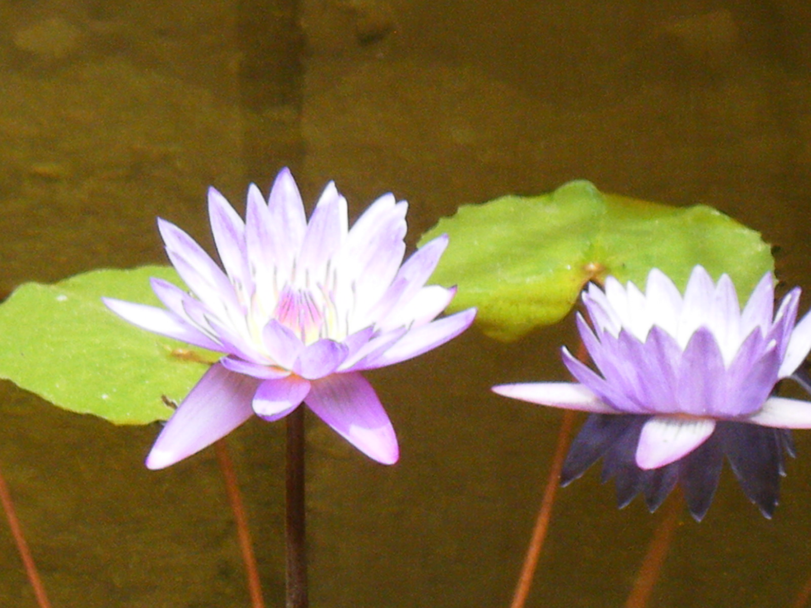 Jewel box more lotus flower love kind of got excited thinking about lotus flowers the other day and found these old photos i took in mexico of some purple lotus izmirmasajfo Choice Image