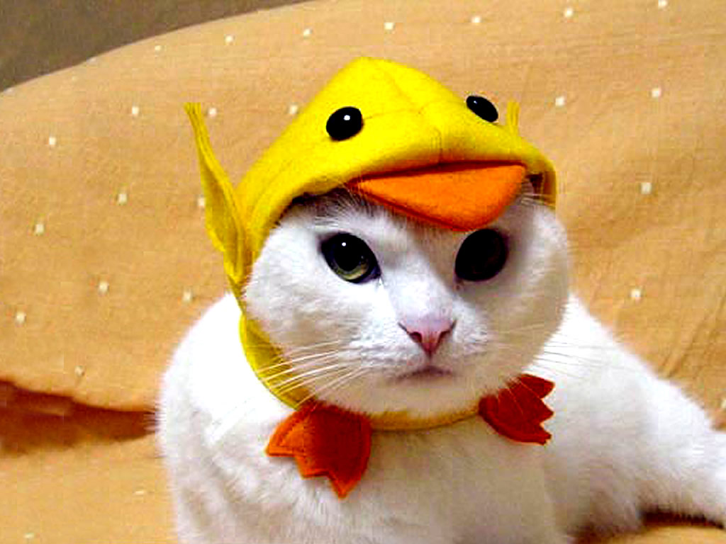 Funny Cat Wallpapers For Desktop 2012