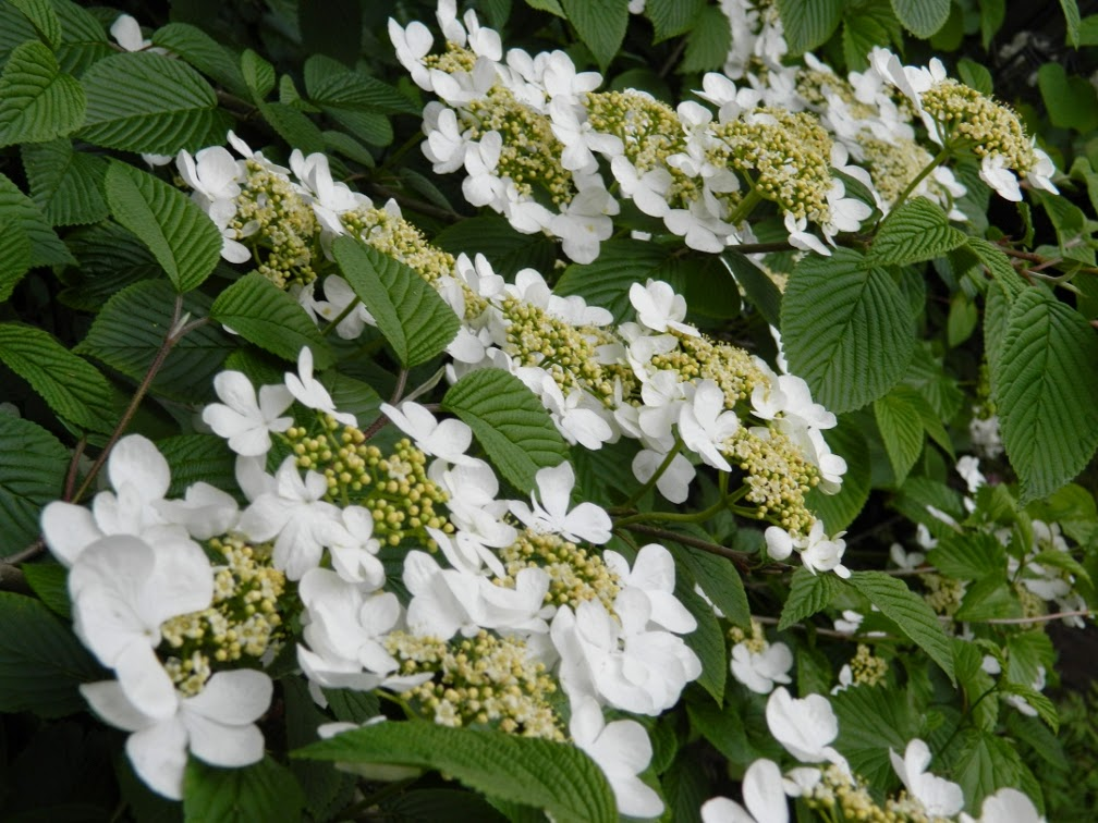Shasta doublefile viburnum plicatum f tomentosum blooms by garden muses-not another Toronto gardening blog