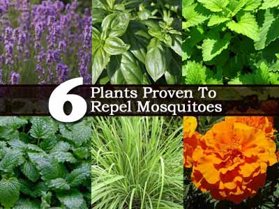 HEALTHY FOODS & HERBAL MEDICINES: ANTI-MOSQUITO HERBS