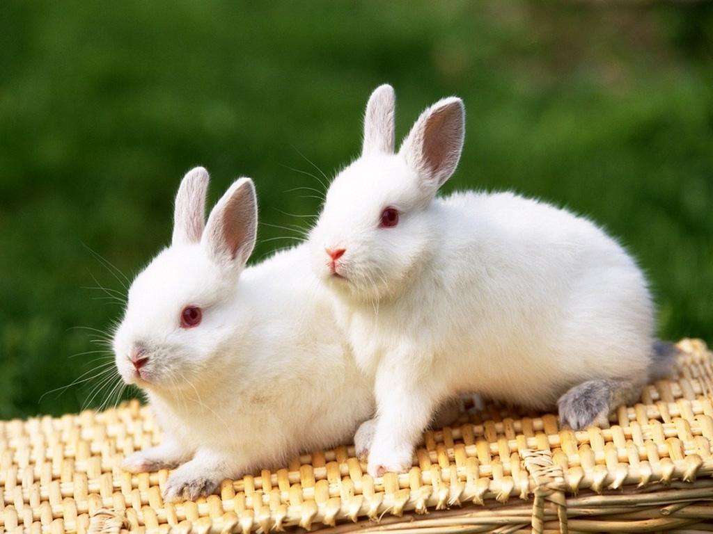 rabbits wallpapers bunny desktop wallpapers best hd