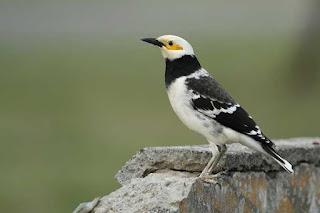 Ciri-Ciri Burung Jalak Thailan Dab Tips Mudah Membedakan Jalak Thailan Jantan Dan Yang Betina