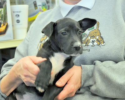Mia, black pit bull mix puppy, being held by volunteer at adoption event