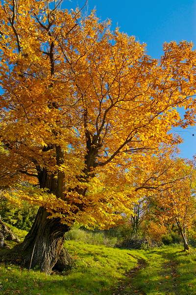 Image of a chestnut tree in autumn