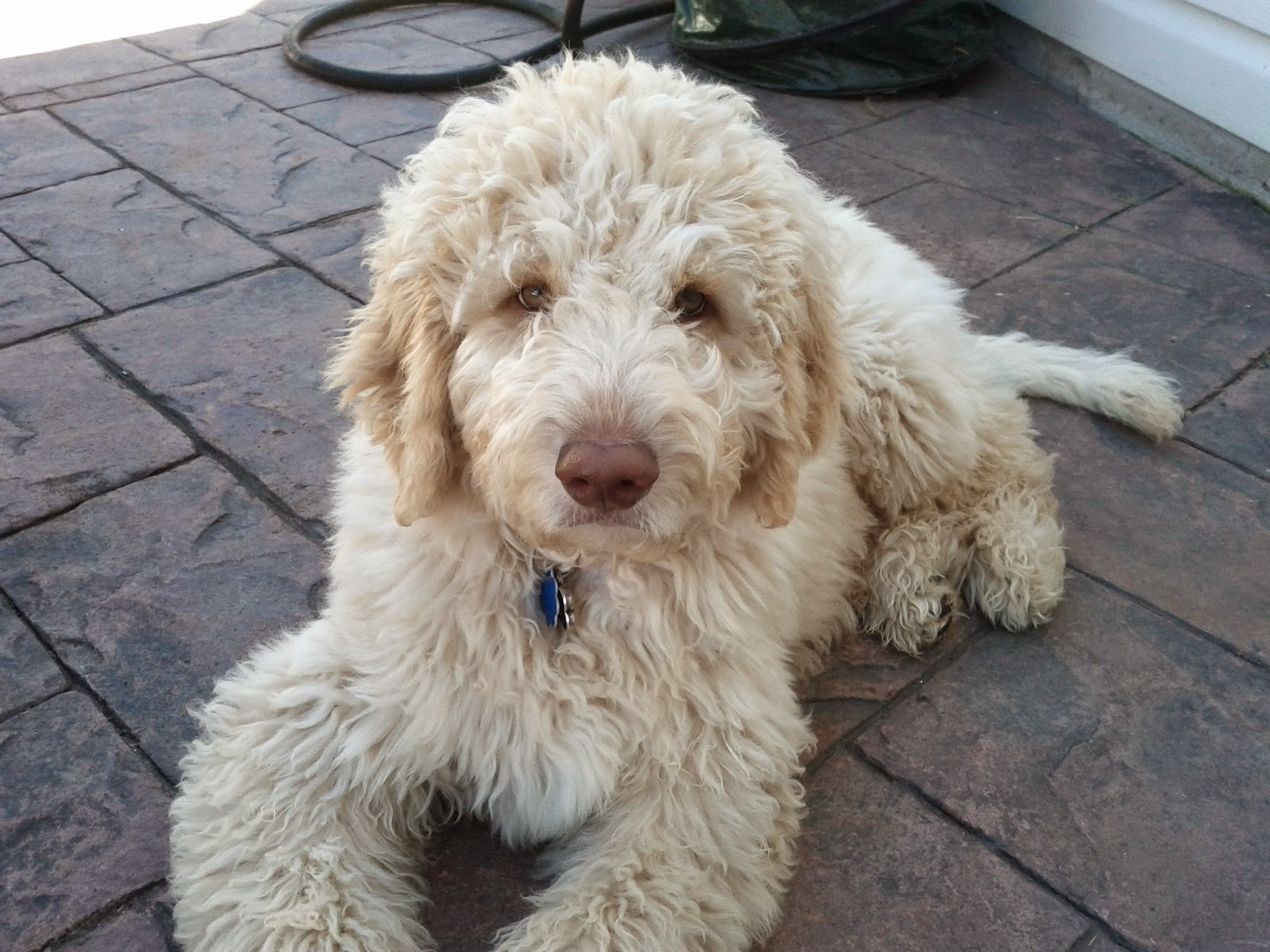 Adult golden doodle picture