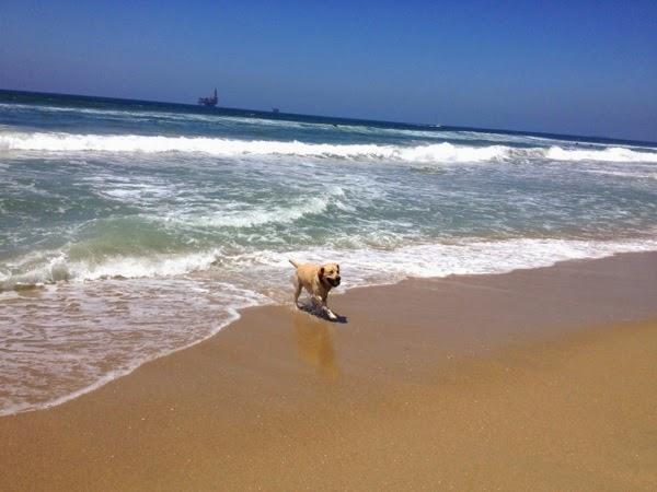 Labrador Cooper Huntington Dog Beach shoreline