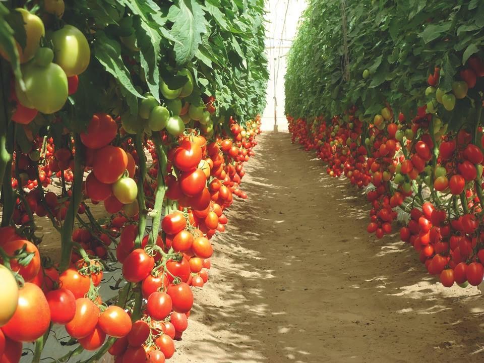 Image result for Tomato Farming in Kenya