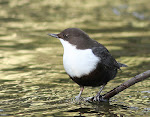 BLACK-BELLIED DIPPER