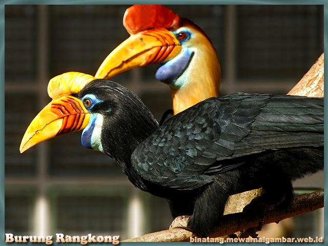 gambar burung rangkong