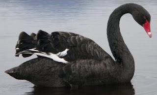 Cisne negro de perfil