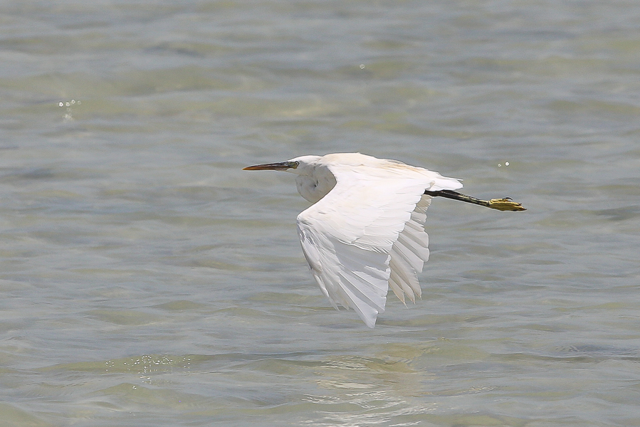 Indian Reef Heron