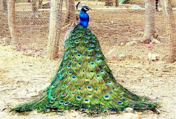 N ufragos en tiempos grafos ferias del libro y colas de - Fotos de un pavo real ...