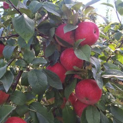 DeMeritt Hill Farm NH _ New England Fall Events_Apple Picking