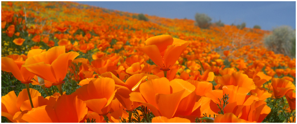 Celebrate the state flower of california at the poppy festival any celebrate the state flower of california at the poppy festival mightylinksfo Gallery