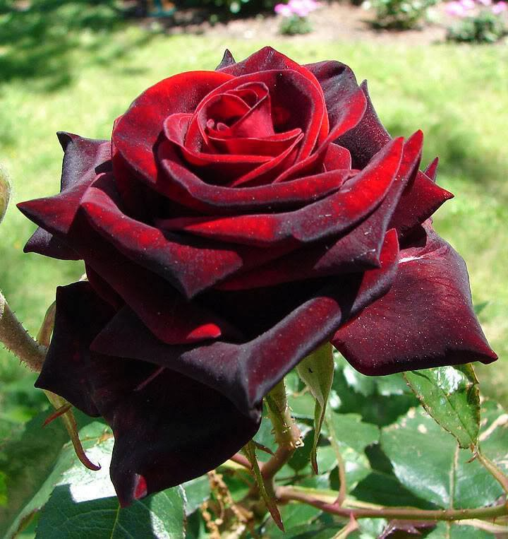 wow beautiful red rose