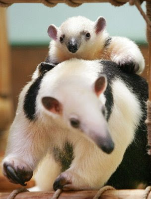 free downloading pics of anteaters wikipedia