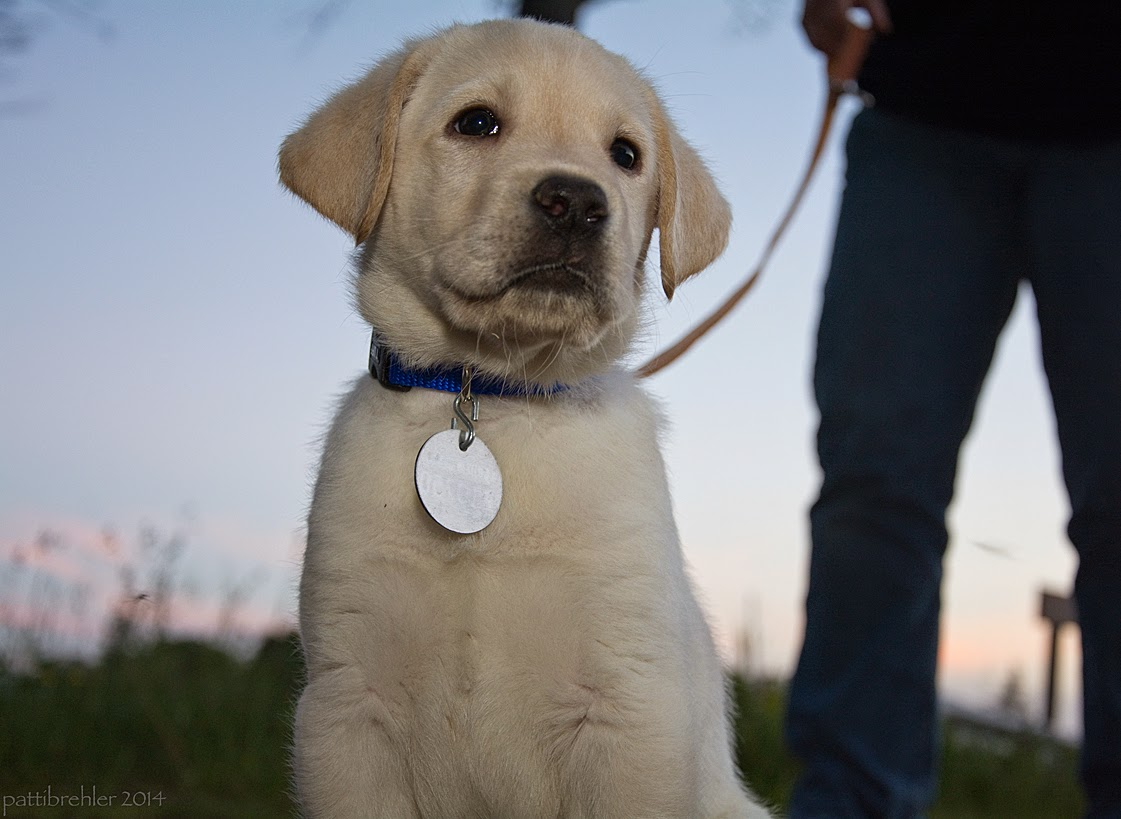 A small yellow lab is sitting down, looking toward the camera. He is wearing a blue collar with a round silver tag. A brown leash is attached to his collar and is being held by someone in the background. The person's legs and hand are the only thing visible and it is out of focus.