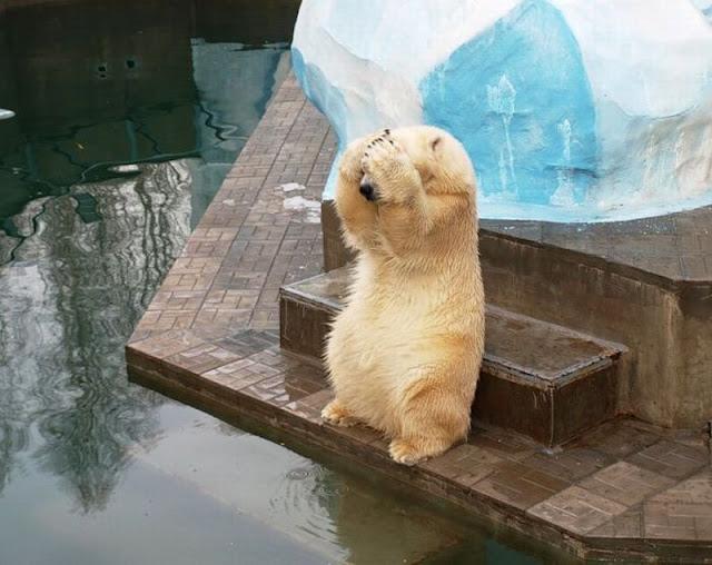 Polar bear covers his face with paws, hide and seek, funny polar bear