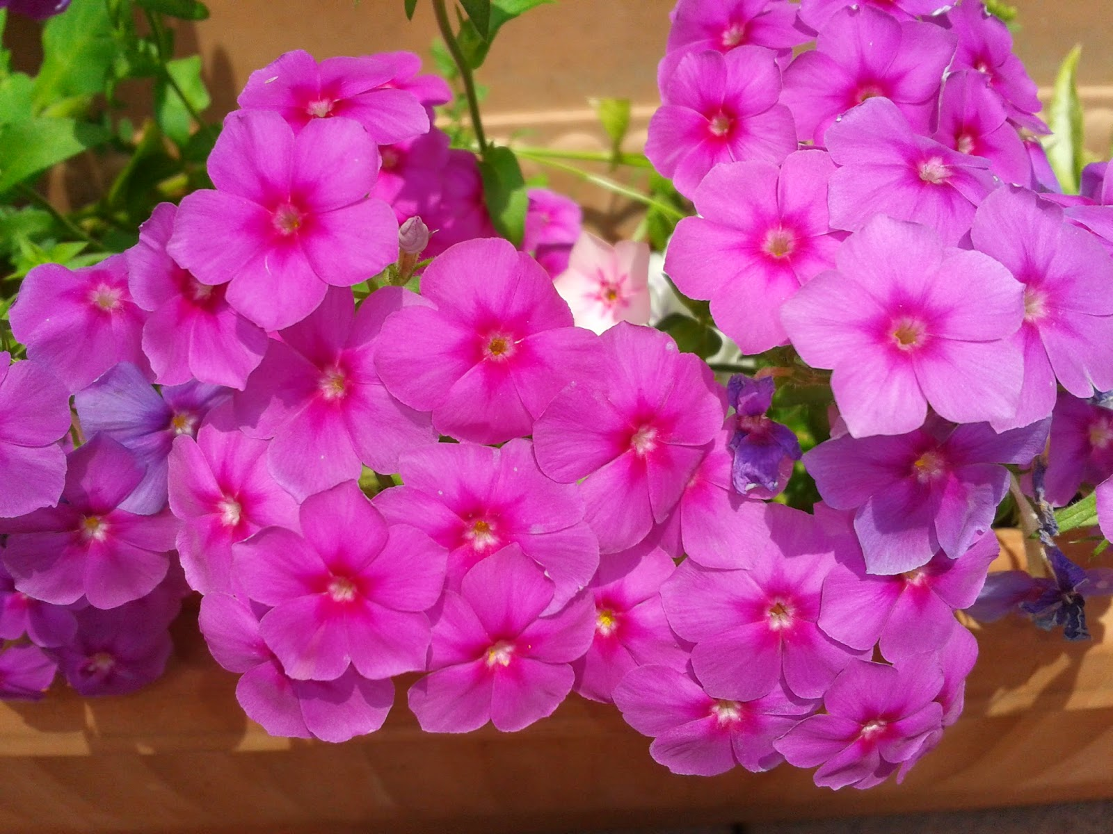 A Bunch Of Pink Phlox