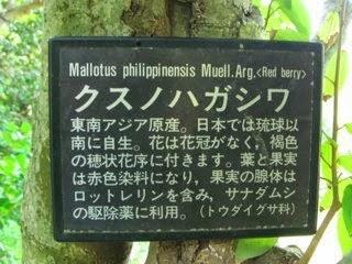 「クスノハガシワ」: <br>沖縄/琉球以南に生息する薬用/染料植物