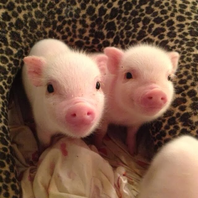 Funny animals of the week - 31 January 2014 (40 pics), two cute mini pigs